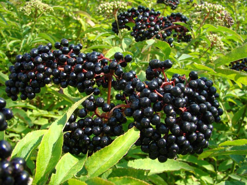 Sambucus-berries_2.jpg.jpg
